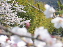 CONTE BLEU-桜2