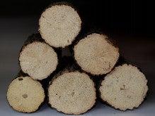 ヒマツムシ-クヌギ産卵木
