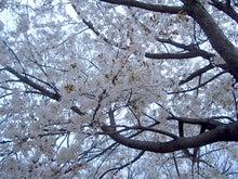 wakuworking スタッフBLOG-渋谷の桜