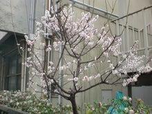 夜のファミレス通信-桜?