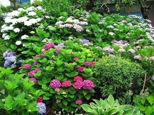 明日 天気にな~れ.。.:*☆♪-紫陽花