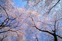 エコロじいさんブログ-サクラ1