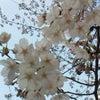 桜咲いたばいヾ(=^▽^=)ノ?の画像