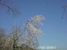 ちょび☆でび-桜2.jpg