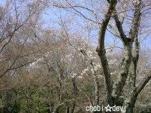 ちょび☆でび-桜1.jpg