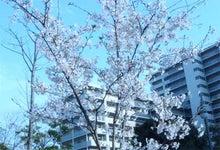 """夢野みさをの""""風の贈り物""""-桜"""