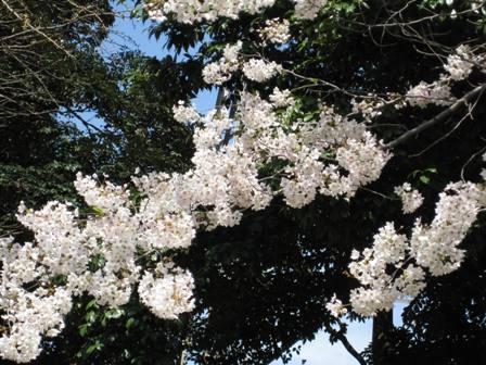 TheoBlog     -テオブログ--桜