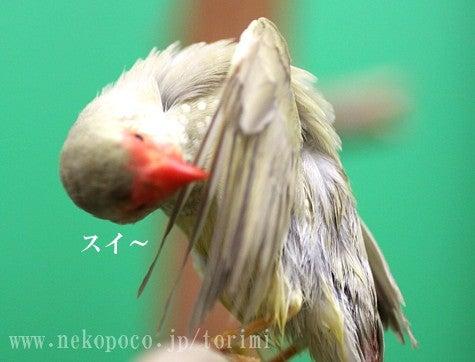 ようこそ!とりみカフェ!!~鳥の写真や鳥カフェでの出来事~-ほぐほぐ小紋鳥