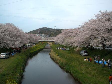 僕の毎日 そして過去-桜満開