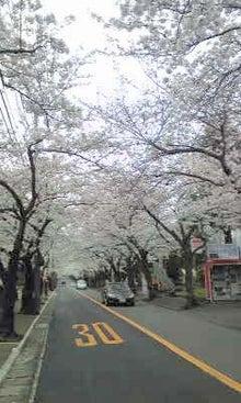 伊豆通信-伊豆高原桜並木
