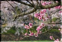 毎日はっぴぃ気分☆-濃淡桜
