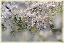 毎日はっぴぃ気分☆-幻桜