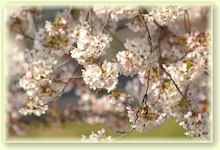 毎日はっぴぃ気分☆-桜