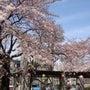 桜に誓う夢