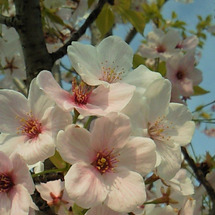 2009年の桜・その…
