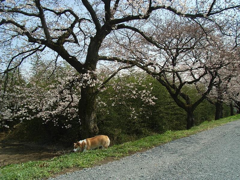 桜と言えばチョッパーの記事より