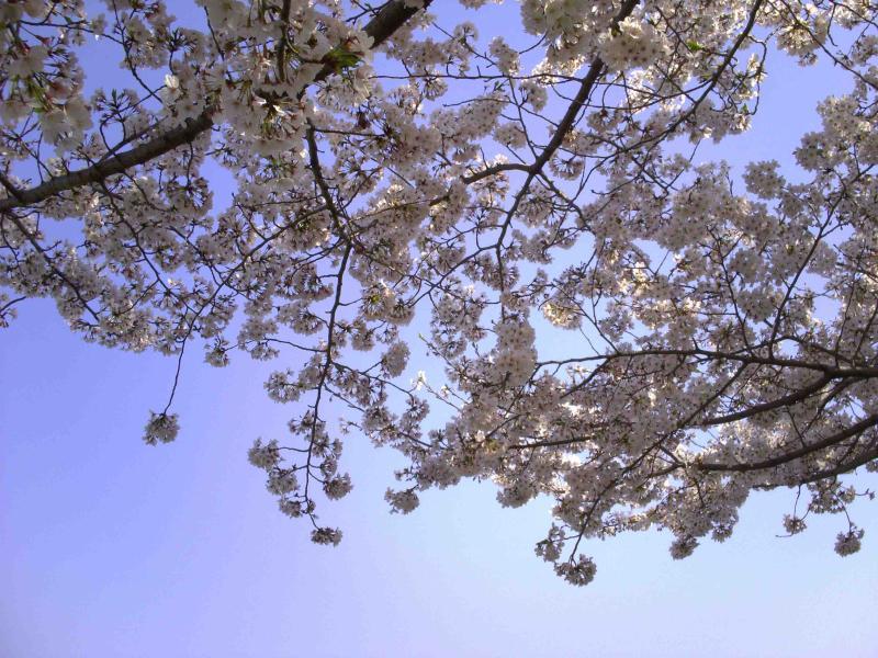 石川桜つつみ と 寺内町① | Dr....
