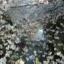 桜終わりー