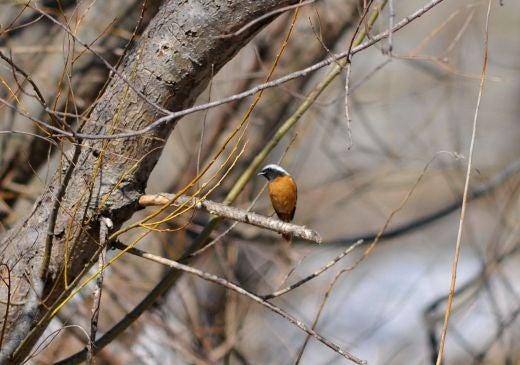 北海道の野生動植物写真-ジョウビタキ