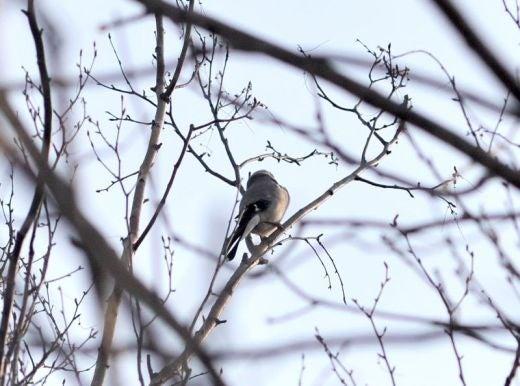北海道の野生動植物写真-イカル