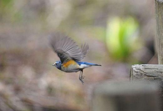 北海道の野生動植物写真-ルリビタキ