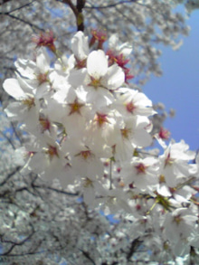 ぼやいてなんぼ-桜