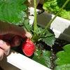 苺とトマト♪の画像