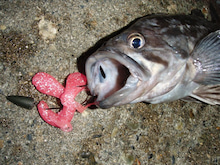 Fishing Blog OFFSHORE CRAZY! ~ 夢は一発大物!   鮪だ!鰤だ!大政だ!巨カンパだ!大鯛だ!なんでもこ~い!-ソイ