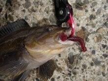 Fishing Blog OFFSHORE CRAZY! ~ 夢は一発大物!   鮪だ!鰤だ!大政だ!巨カンパだ!大鯛だ!なんでもこ~い!-アイナメ