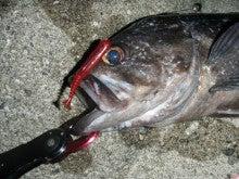Fishing Blog OFFSHORE CRAZY! ~ 夢は一発大物!   鮪だ!鰤だ!大政だ!巨カンパだ!大鯛だ!なんでもこ~い!-でかそい