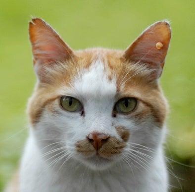 「猫 去勢 ピアス」の画像検索結果