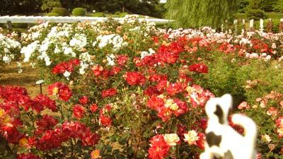マグネッコ-いろとりどりのバラ