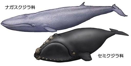 川崎悟司 オフィシャルブログ 古世界の住人 Powered by Ameba-ヒゲクジラ科とナガスクジラ科