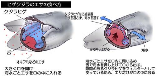 川崎悟司 オフィシャルブログ 古世界の住人 Powered by Ameba-ナガスクジラのろ過食のしくみ