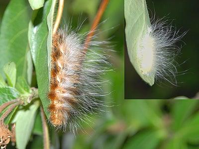 オカヤマのフィールドノート-オビガの幼虫