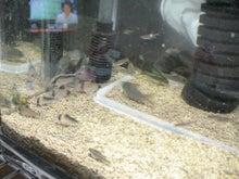そこはかとなく熱帯魚-コリ