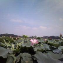 伊豆沼の蓮