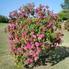 花に夢中でゴルフで惨敗の記事より