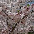 今年の桜・サクラ・さ…