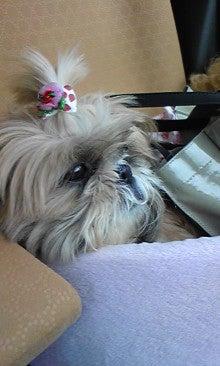 飼育放棄犬シーズー春香が教えてくれた、幸せな気持ちになる方法-090620_1112~01.jpg