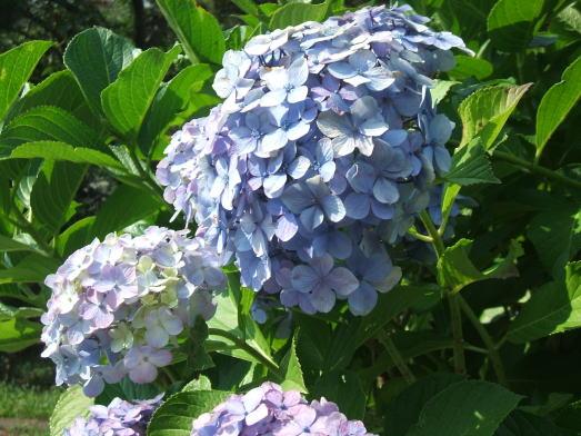 ブレッド&サーカス・ブログ-09紫陽花
