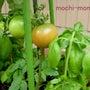トマト 収穫。