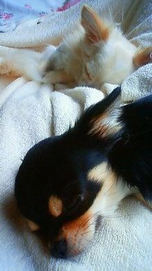 Chihuahua×Chihuahua-image.jpg