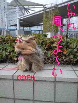 ★ろくたんブログ★ ヨーキーとチワワとよきぇ-2009-4-4b