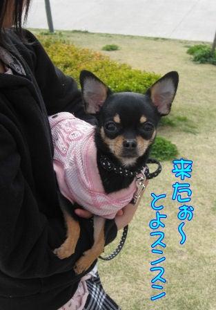 ★ろくたんブログ★ ヨーキーとチワワとよきぇ-2009-4-5y