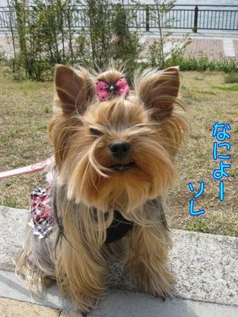 ★ろくたんブログ★ ヨーキーとチワワとよきぇ-2009-4-5h