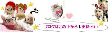 マンチカン★★チンチラ 猫!