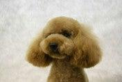 ♪天使ワンコを癒したい。でも天使ワンコ犬に癒されたい♪-STIL0031_ed.jpg