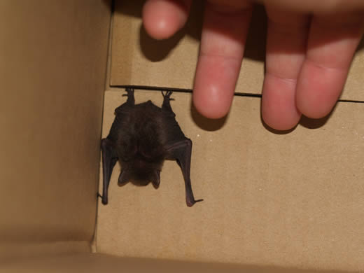 フクロウのいる家-アブラコウモリ