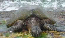 AAO HAWAIIのブログ-ラニケア カメ